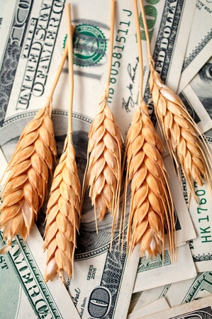 pay money: golden spikes of wheat with dollar bills