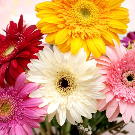 gerber: close up of colorful gerbera daisies