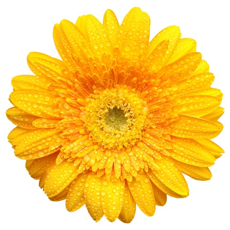 Yellow gerbera blossom with water drops isolated on white background
