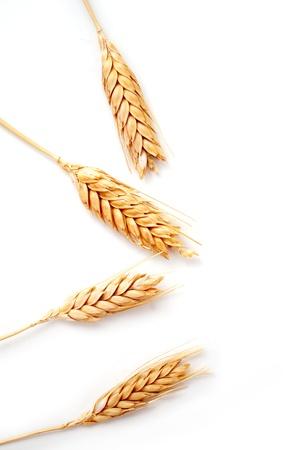 wheat crop: Orejas de trigo de oro aisladas sobre fondo blanco Foto de archivo