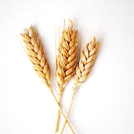 espiga de trigo: Espigas de trigo sobre fondo blanco de cerca