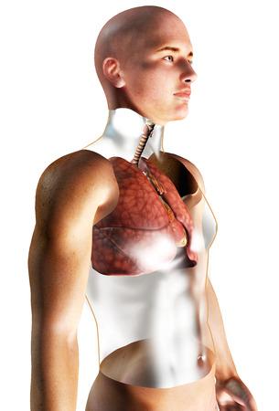 3d Human Respiratory System rendered illustration