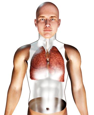 bronchial: 3d Human Respiratory System rendered illustration