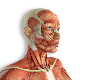 anatomy nude: Female Face Muscles Anatomy 3d rendered illustration