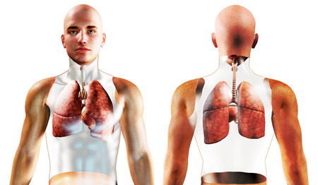frontal sinuses: 3d Human Respiratory System rendered illustration