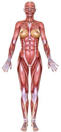 anatomically: 3D  female body anatomy isolated on white Stock Photo