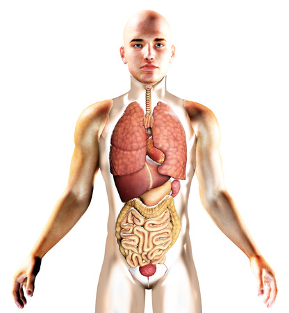 3D render of the internal organs with human silhouette