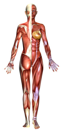 anatomically: 3D  female figure with half  body showing back