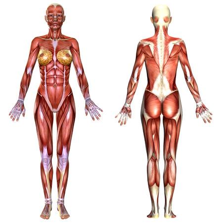 흰색에 고립 된 3D 여성의 몸 해부학