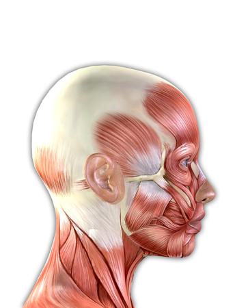 Weibliches Gesicht Muskeln Anatomie isoliert auf weißem Hintergrund