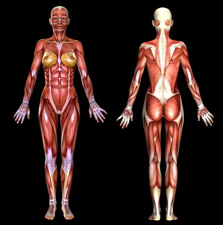 cuerpo femenino: 3D anatomía del cuerpo femenino aislado en negro Foto de archivo