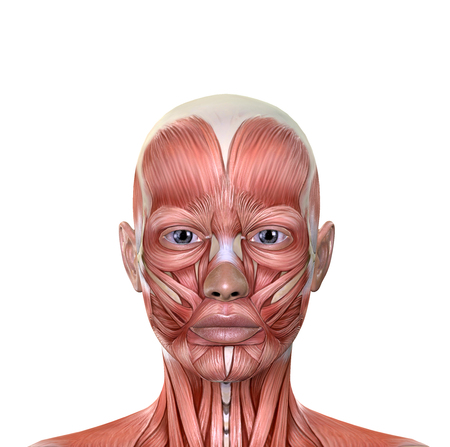 Female Face Muscles Anatomy Isolated On White Background Stock Photo ...