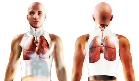 pneumonia: 3d Human Respiratory System rendered illustration