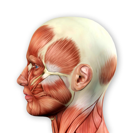 Male Face Muscles Anatomy 3d Illustration Stock Photo, Picture And ...