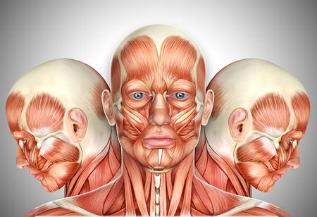 3d männliches Gesicht Muskeln Anatomie mit Seitenansichten Standard-Bild