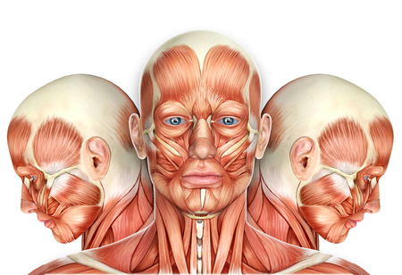 human head: 3d Male Face Muscles Anatomy with side views