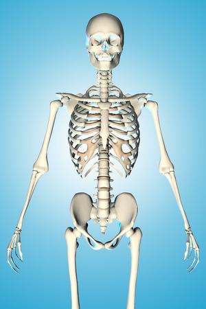 male torso: 3d rendered illustration of a male skeleton showing torso