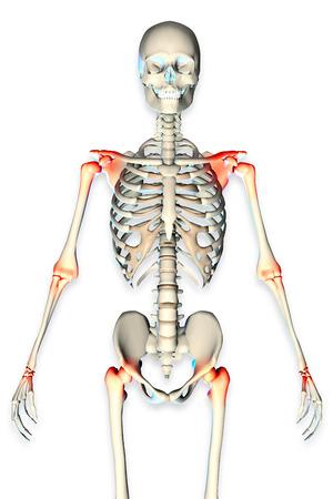 3d rendered illustration of a male skeleton showing torso