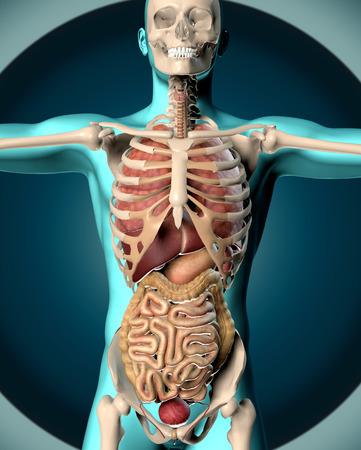 3D geef van een medisch beeld van een mannelijke figuur die de inwendige organen