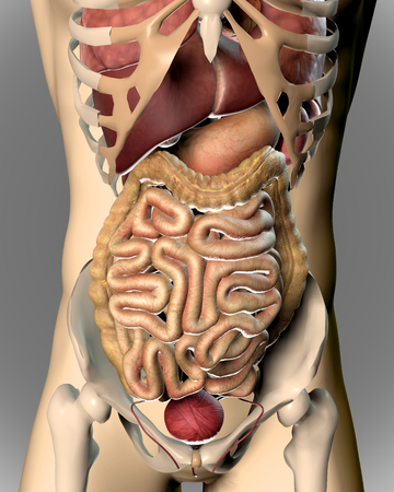 physiology: 3D render of a medical image of a male figure showing internal organs