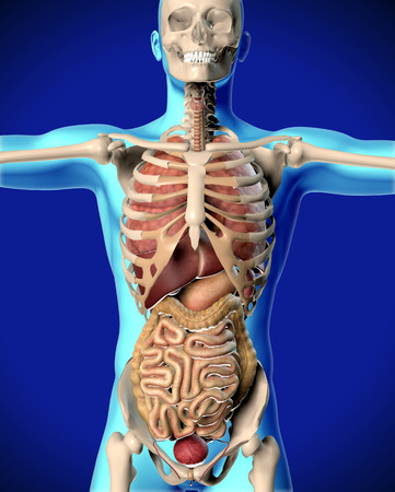 body shape: 3D render of a medical image of a male figure showing internal organs