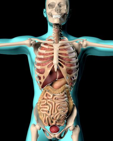 human figure: 3D de procesamiento de una imagen médica de una figura masculina que muestra los órganos internos