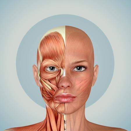 3d weibliches Gesicht Muskeln Anatomie Standard-Bild