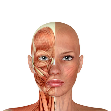 3D Vrouwelijke Gezicht Spieren Anatomie Stockfoto