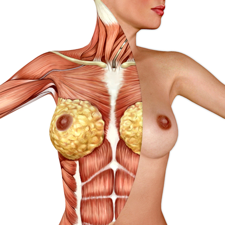 3d Anatomy Of The Female Breast Stock Photo Picture And Royalty