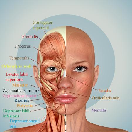 3d żeński twarzy mięśnie anatomiczne