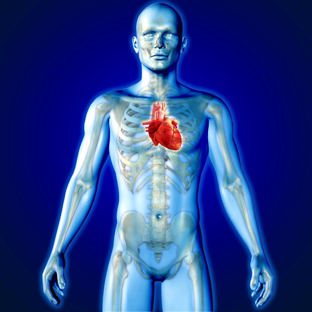 male figure: 3D render of a medical image of a male figure with heart highlighted Stock Photo