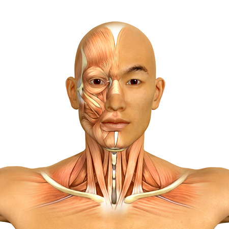 3d Asian male model face and neck muscles anatomy