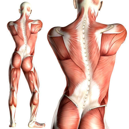 3d illustration of  a male anatomy with back view muscle map