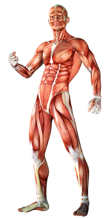 3d illustration of  a male anatomy  with muscle map