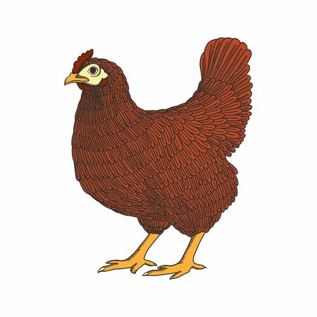 illustration with hand drawn chicken, hen. Poultry, broiler, farm animal. Vintage colorful bird sketch Иллюстрация
