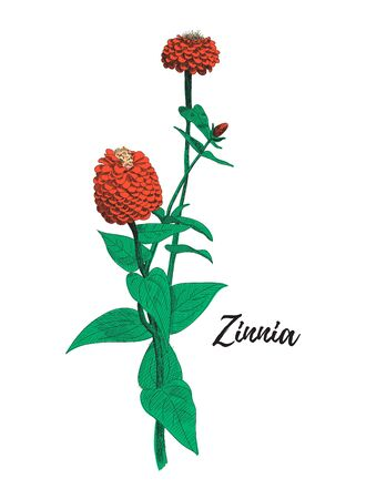 Zinnia flower drawing. Colorful line art vector illustration. Hand drawn zinnia flowers and leaves sketch, doodle. Botanical poster background