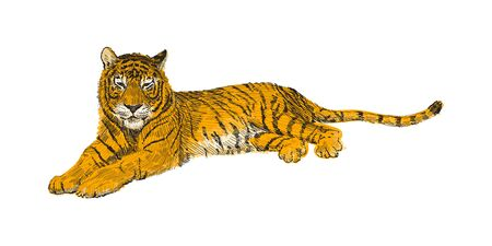 The tiger lies, sketch vector graphics colorful drawing. African wildlife doodle illustration. Portrait of a tiger Vektorové ilustrace