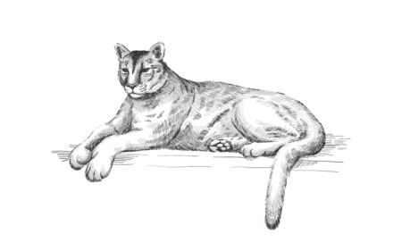 Reclining cougar. Lying American mountain lion, red tiger, panther animal. Puma predator in zoo, vector illustration, hand drawn sketch art