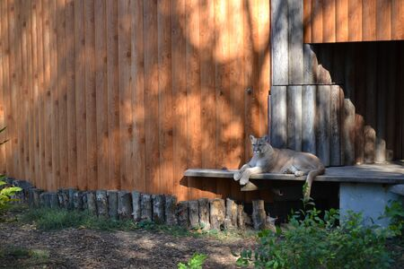 Reclining cougar. Lying American mountain lion, red tiger, panther animal. Puma predator in zoo.