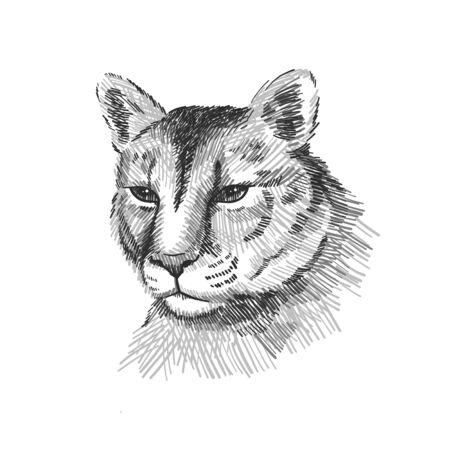 Cougar portrait. American mountain lion, red tiger, panther animal face. Puma predator, vector illustration, hand drawn sketch art Illustration