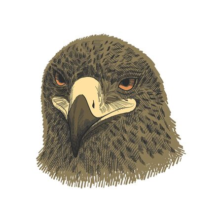 The saker falcon Falco cherrug, eagle colorful vector illustration. Hand drawn sketch drawing. Bird for falconry, wildlife animal, falcon head portrait Illustration
