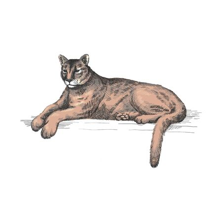 Reclining cougar. Lying American mountain lion, red tiger, panther animal. Puma predator in zoo, vector illustration, hand drawn sketch art. Illustration