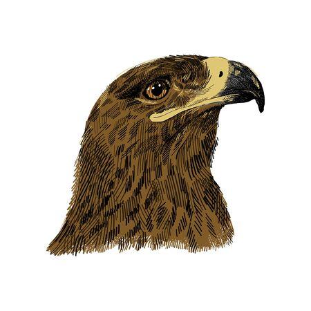 The saker falcon Falco cherrug colorful vector illustration. Eagle hand drawn sketch drawing. Bird for falconry, wildlife animal, falcon head portrait Illustration
