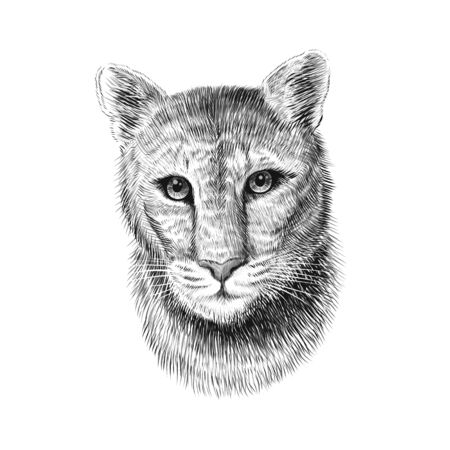 Puma head, sketch vector graphic monochrome illustration on white background. Hand drawn American mountain lion portrait. Cougar, red tiger cat, panther animal Illustration