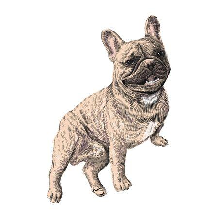 French Bulldog, sitting. Hand drawn pet animal sketch. Vector colorful illustration.