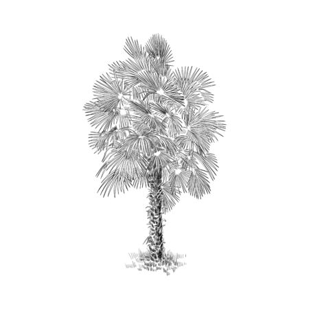 Palm tree, plant black and white vector illustration. Hand drawn sketch drawing. Exotic tropic palm background, monochrome.
