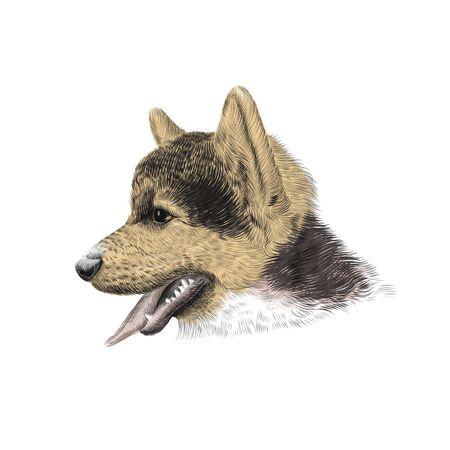 The Pembroke Welsh Corgi Tricolor puppy, a cattle herding dog breed. Pet portrait, closeup sketch. Vector illustration Illustration