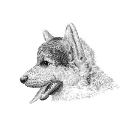 The Pembroke Welsh Corgi Tricolor puppy, a cattle herding dog breed. Pet profile portrait, closeup sketch. Vector illustration.