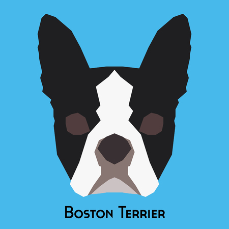 boston terrier: Isolated boston terrier on a blue background
