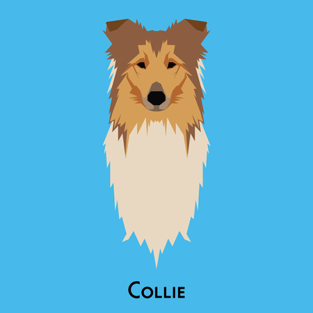 collie: Isolated cute Collie on a blue background